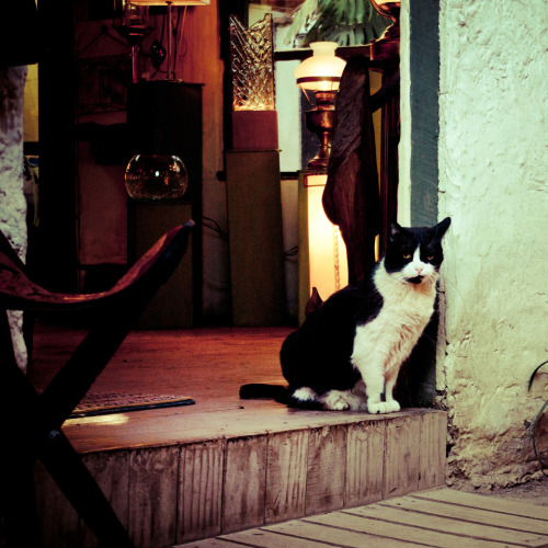 laestrellasolitaria:  Un gato! — at Pueblito de los Dominicos. Fun Cat Fact: Chile is home to the Kodkod (also called Guiña) which is the smallest cat in the Americas.  Kodkods are strongly associated with mixed temperate rainforests of the southern Andean and coastal ranges, particularly the Valdivian and Araucaria forests of Chile, which is characterized by the presence of bamboo in the understory.