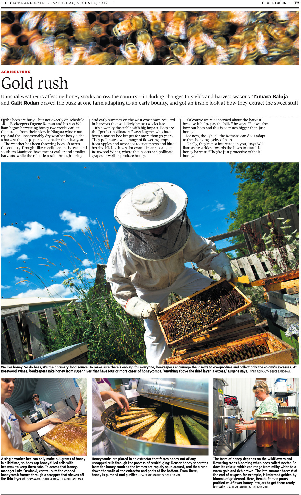 "1. Master beekeeper Eugene Roman prepares to pull a frame from a hive as beekeeper and son William Roman follows closely behind with  a smoker, used to clear the hive at Rosewood Estates' 21st Vineyard and Honey Processing Location in Jordan, Ontario, July 25, 2012.  (Galit Rodan/The Globe and Mail) 2. Bees crawl around a sheet of honeycomb with capped brood at Rosewood Estates' 21st Vineyard and Honey Processing Location in Jordan, Ontario, July 25, 2012.  (Galit Rodan/The Globe and Mail) 3. Bees crawl around a sheet of honeycomb at Rosewood Estates' 21st Vineyard and Honey Processing Location in Jordan, Ontario, July 25, 2012.  (Galit Rodan/The Globe and Mail) 4. Master beekeeper Eugene Roman examines a frame from a hive at Rosewood Estates' 21st Vineyard and Honey Processing Location in Jordan, Ontario, July 25, 2012.  (Galit Rodan/The Globe and Mail) 5. Master beekeeper Eugene Roman examines a frame from a hive at Rosewood Estates' 21st Vineyard and Honey Processing Location in Jordan, Ontario, July 25, 2012.  (Galit Rodan/The Globe and Mail) 6. Niagara College summer coop students Audrey Friendship (left) and Benjamin Brown (right) as well as Vineyard Manager Luke Orwinski (centre) put capped frames through an uncapper before placing them in honey extractors, July 25, 2012 at Rosewood Estates' 21st Vineyard and Honey Processing Location in Jordan, Ontario.  (Galit Rodan/The Globe and Mail) 7. Niagara College summer coop student Audrey Friendship opens a honey extractor, revealing the frames inside, July 25, 2012 at Rosewood Estates' 21st Vineyard and Honey Processing Location in Jordan, Ontario.  (Galit Rodan/The Globe and Mail) 8. Harvested wildflower honey and various wines for sale in honeycomb-shaped shelves at Rosewood Estates Winery in Beamsville, July 25, 2012.  (Galit Rodan/The Globe and Mail) 9. ""Queen bee"" Renata Roman pours honey in a back room at Rosewood Estates Winery in Beamsville, July 25, 2012.  (Galit Rodan/The Globe and Mail) When Randy Velocci, one of my editors, sent me an email assigning me to shoot a photo essay on a honey harvest, I kept my mouth shut about my fear of bees. For one thing, spending the greater portion of a day in the picturesque little town of Jordan, Ontario, away from the suffocating humidity of the city, sounded like a good thing. For another, the chance to actually have multiple photos published was exciting. For another, I'm an intern. Saying no is not an option (and I wouldn't have even if it were). I know my fear of bees is totally irrational. I've been stung and bitten by all sorts of other things - mosquitos, black flies, spiders, stinging nettles, dogs, squirrels… But I'd never been stung by a bee. I don't know why that particular insect provoked such fear in my heart but I was one of those people who flailed around in a panic and ran away whenever they got too close. Part of me has always feared I might be allergic. I mean, who knows, right? It's been at least a decade since my last allergy test. So death by bee always seemed like a terrifying, if probably unlikely (though possible), scenario. Aaaaaanyway, I sucked it up and went along with reporter Tamara Baluja. I had a feeling this was going to be my chance to overcome. When I'm shooting I often get so focused on getting my shots that every other emotion goes away. Sometimes I get a bit of tunnel vision. I would probably be a terrible (and short-lived) war photographer.  So, with the exception of a few seconds outside near the hives when I thought a bee had flown up into my mask and a few seconds inside when I discovered a drowsy bee clinging to the top of my camera about a centimeter away from my eyeball, I was fine. No panic. Just fun and concentration and sweat. Shooting through a helmet/netting is kinda tough. You can't get the viewfinder right up to your eye so the edges of the frame get kind of lost in a vignette and sometimes you aren't sure if you're hitting your focus. But it all worked out. And neither of us got stung! I felt more confident around bees after that. I started thinking I'd probably just never be stung. Classic, though. A couple weeks later, on a day I was shooting a 16-kilometre obstacle course, I got stung for the first time as I was moving from a standing to a crouching position. Right in the back of the knee. It really wasn't that bad. link: http://www.theglobeandmail.com/news/national/gold-rush-harvesting-honey-on-a-wild-weather-schedule/article4457546/"