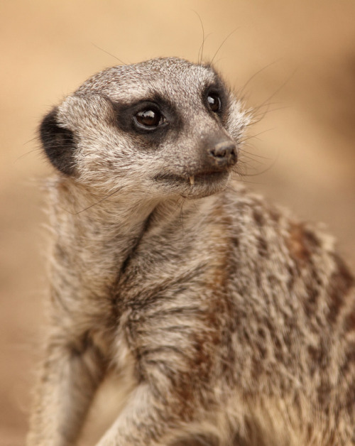 a-m-a-z-o-n:  Meerkat by ConfessChrist on flickr
