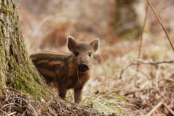 Baby Boar 01 by dogsey on Flickr.