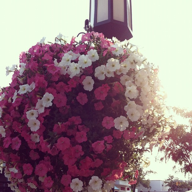 viviluvsu:  Pretty. #birmingham #shopping #flowers #light #post #sun  (Taken with Instagram)