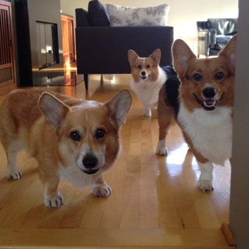 andcorgimakesthree:  On watch #corgi #cute #love #petstagram #corgistagram #igers #dog #photooftheday (Taken with Instagram)  Three corgis staring at you. WHAT DO YOU DO?