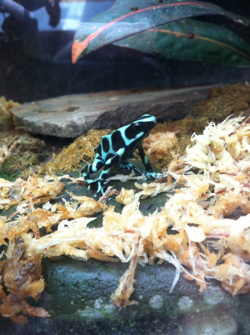 xalyssamarie:  Dendrobatidae; Poison dart frog at the Seneca Park Zoo - Rochester, NY. Their poison was originally used in arrowheads of the indigenous people of Colombia to kill their victims faster. Some poison dart frogs have enough venom to kill 10 full grown men, but if they are raised in captivity they are non-toxic. As beautiful as their colors are, they're used to ward off potential predators, not to attract mates.