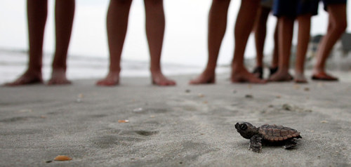 A recently hatched loggerhead turtle makes its way to the surf, as tourists and volunteers look on, at South Litchfield Beach along the coast of South Carolina, US Photograph: RANDALL HILL/REUTERS