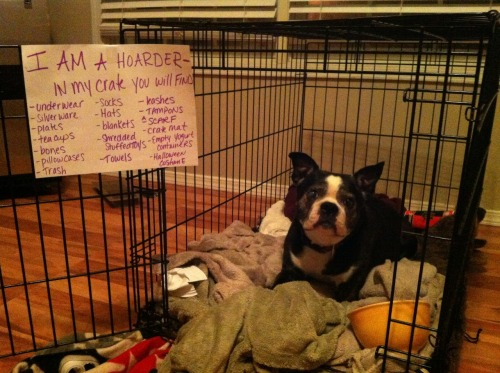 dogshaming:  Hello, My name is Maggie and I'm a hoarder.