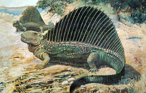 "rhamphotheca:  Dimetrodon, w/Edaphosaurus in background (1897) by Charles R. Knight The simple phrase ""Dimetrodon is not a dinosaur, its a synapsid""… repeat this hundreds of times to everyone you know, until they all understand. You will make them fucking understand…"