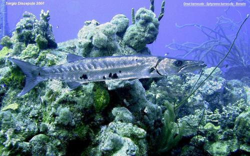 Great barracuda - Sphyraena barracuda, Bonaire By Sergio Discepolo 2006