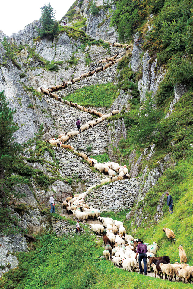 "A flock of alpine sheep walk on a cliff path on the way from summer grazing high above the Aletschgletscher glacier down to Belalp in the canton of Valais on Aug. 25, 2012, during the ""Schaeferwochenende"" (Shepherd's Weekend) near Blatten, Switzerland. [Credit : Jean-Christophe Bott / AP]"