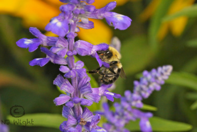 Bee on purple.