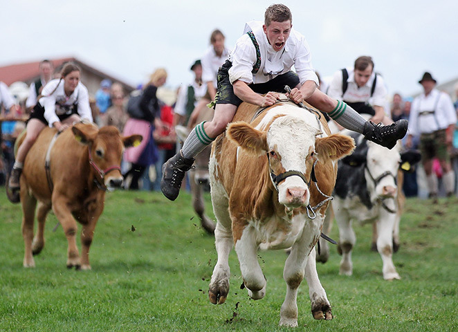 wantsee:  People dressed in traditional Bavarian lederhosen compete in ox-racingGetty Images