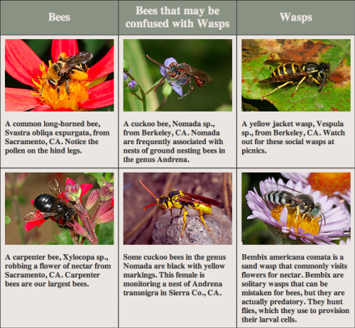 "ARTICLE: Wasps vs. Beesby Jaime Pawelek and Rollin Coville ""Wasps and bees are often mistaken for each other, but knowing a few key features of both can help one tell them apart. Bees gather pollen and nectar from flowers to use as food for their offspring. Wasps are carnivorous and hunt for other insects or spiders, but some also visit flowers for nectar. Bees usually have very hairy bodies and pollen collecting hairs on their legs or under their abdomen to help them accomplish this task. Wasps tend to have few to no hairs at all because they don't intentionally collect pollen. …wasps usually have more elongate bodies, longer legs, and sometimes have what looks like a pinched waist, whereas bees usually look more compact. There are other physical differences between bees and wasps, but they are hard to make out without the use of a hand lens or microscope. So, if you see a busy creature flying from flower to flower and actively collecting brightly colored pollen, then you can be fairly sure it is a bee. Bees actually evolved from predatory wasps (apoid wasps), so bees and wasps have a lot of similarities both in appearance and behavior. Bees and wasps both have two sets of wings, unlike flies, which only have one. Also, only the females of bees and wasps can sting because the stinger is actually a modified egg laying apparatus. Behaviorally they are similar in that they both have social and solitary species. Yellow jackets, like bumble bees, have seasonal colonies that form in the spring and die out in the late fall with the queens overwintering to start a new colony the following year. The majority of bees and wasps though are solitary, and the female does all the work of building and provisioning nests for her young. One wasp that a lot of people confuse with bees is the yellow jacket. Unlike honey bees, yellow jackets and other wasps don't leave their stinger behind when they sting something, therefore they are able to sting several times in a row. These social wasps form papery nests both above and below ground that can contain anywhere from 50 to 5,000 individuals. The larger the colony gets the more aggressive the wasps become. This usually happens in late summer/early fall when food is in short supply. Yellow jackets then become nuisances at picnics eating whatever they can find…"" [click here to read the original article on nature.berkeley.edu]"