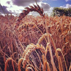wheat fields #summer #durham  (Taken with Instagram at Low Newton, Durham)