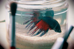 In the loving memory of my betta, Pavo Named him after the Latin word for peacock, cos obviously he has the most fascinating fins in that pet shop, just like a peacock, bettas flash their fins to look intimidating. He lasted like four days from the moment I bought him. This morning I saw his dried up body meters away from his bottle. What's the catch?