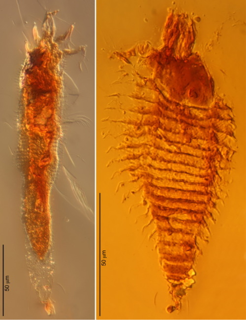 "Scientists have now revealed arthropods trapped in 230-million-year-old amber from northeastern Italy, which appears to hold the most abundant outcrops of Triassic amber in the world. These are the oldest amber-trapped arthropods by about 100 million years, and are the first arthropods to be found in amber from the Triassic, they say…. One of the mites, Triasacarus fedelei [left], is just 210 microns long, or about twice the diameter of a human hair. Its distinctly wormlike shape suggests it may have lived in a tiny space that protected it from drying out. Its mouthparts are less fused together than the hypodermic-needlelike feeding structures of its modern counterparts — ""these are probably an early progenitor of modern-day gall mites, a primitive form,"" Grimaldi said. The other, the 124-micron-long Ampezzoa triassica [right], had a more compact, spindle shape typical of mites with a vagrant lifestyle on exposed surfaces of plants. It apparently possessed waxy filaments on its surface, which may have protected it against predators and parasites, as well as from rain and drying out…. The ancient mites probably fed on the leaves of the extinct species of conifer tree whose resin ultimately preserved them. These fossil mites lived before the appearance of flowering plants, which about 97 percent of today's gall mites now feed on.  (via 230-Million-Year-Old Mite Found in Amber 