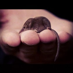 Pygmy shrew. Omg.  (Taken with Instagram)