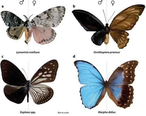 i-eviscerate:  Four examples of gynandromorph (dual-sex) butterflies and moths. Gynandromorphs are organisms which display both male and female physical characteristics, as seen here in the wings of each insect.  And it is not only the wings that are affected. The insect's body is split in two, its sexual organs are half and half, and even its antennae are different lengths. This rare sexual chimera is caused when the sex chromosomes fail to separate during fertilisation.