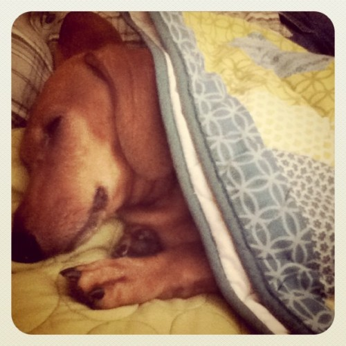 Bernie is #astral #traveling while he sleeps. I'm convinced of it :) #dachshund  (Taken with Instagram)