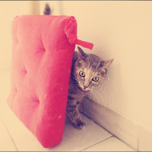 "thefluffingtonpost:  Area Kitty's Hiding Spot Is Just Terrible According to sources close to the situation, an area kitty name Temperance embarrassed herself during a recent game of hide and seek.  Witnesses say Temperance's choice of hiding spot — behind the floor pillow leaning against the wall — was ""so obvious it hurt."" ""It was just embarrassingly bad,"" said Oliver Robertson, the commissioner of the North American Feline Hide and Seek Association. ""She's really going to tumble down the NAFHSA standings based solely on this one game.  I don't know what she was thinking."" Via beiko-chan."