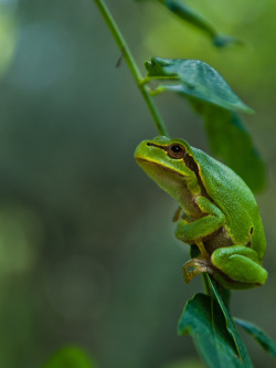 "phototoartguy:  Green Frog. / Photo ""I beleive I can fly!"" by Maksym Kvitkov @500px.com"