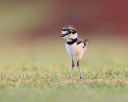 worldlyanimals:  Baby Killdeer (Jude Haase)