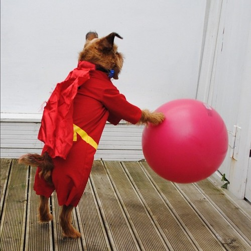 We need to show everybody the full body shot of Digby in his Super D costume!! digbyvanwinkle:  When you're truly awesome like Digby you know it's actually a curse. You live everyday trying to rid yourself of the burden sorry Digs - not happening ☺ (Taken with Instagram)