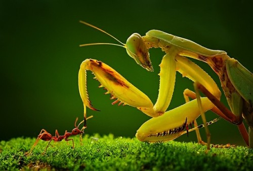 worldlyanimals:  Praying Mantis vs. Ant (Uda Dennie)