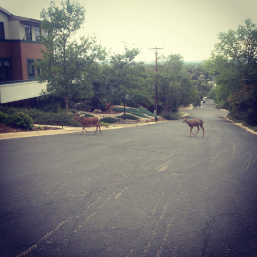 Dellwood Deer.  Boulder CO