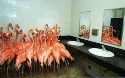silkblood:  uzowuru:  Flamingos take refuge in a bathroom at Miami-Metro Zoo, Sept. 14, 1999 as tropical-storm force winds from Hurricane Floyd approached the Miami area.  Poor babies