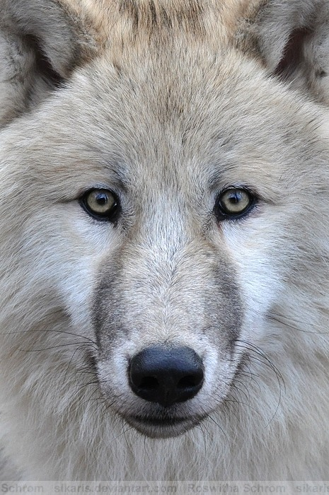 beasts-of-prey:  Arctic Wolf (004) - Arctic Beauty