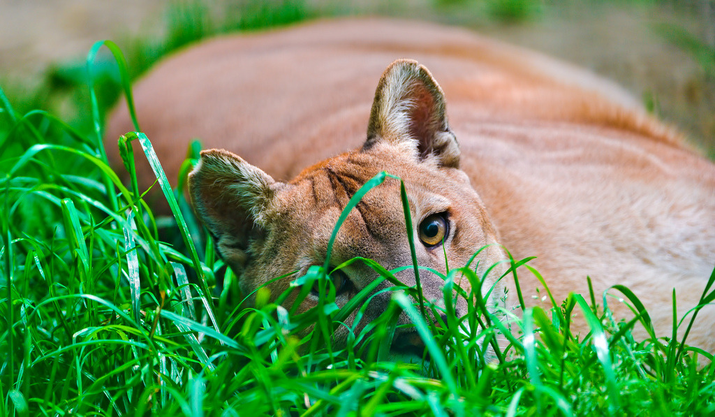 animals-animals-animals:  Cougar (by Tambako the Jaguar)