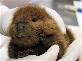 I'm in Ottawa today for a client meeting. So here's a baby beaver to get you through the day.