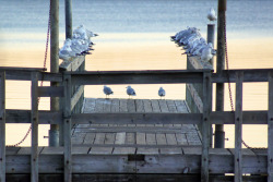 Seagulls lined up on a dock at sunset.