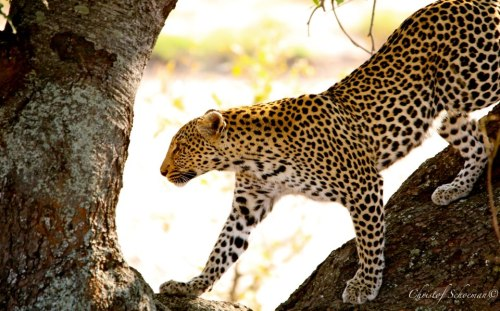funnywildlife:  Nthombie Leopardess, South of Kings Camp, Timbavati- South Africa on 25 August 2012.by Christof Schoeman Wildlife Photographyhttp://wildography.co.uk/african-wildlife-special/