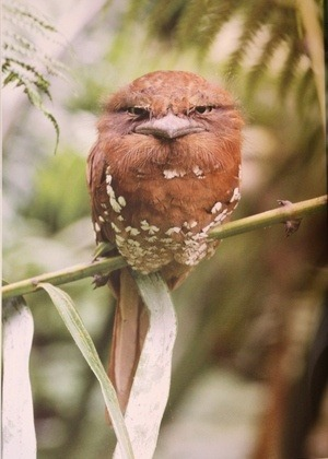 fairy-wren:   sri lankan frogmouth (photo via the birder's library)