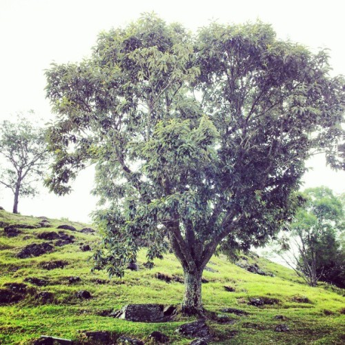 #tree #grass #hill #allgreen #nature #botanica #igers #igaddict #ignation #instacool #instamood #instagreen #greenlife  (Taken with Instagram)