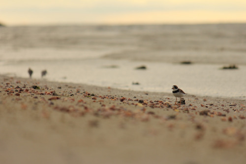 shorebirds (by chaospantsman)