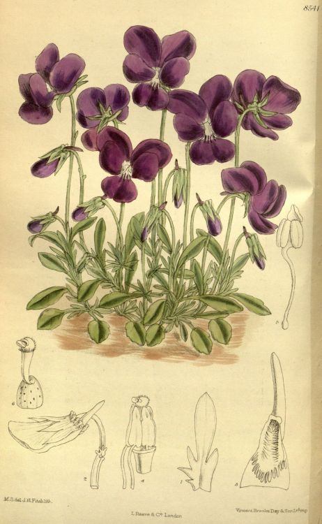 Matilda Smith and John Nugent Fitch, Curtis's Botanical Magazine, Vol. 140, Viola gracilis, (1914)