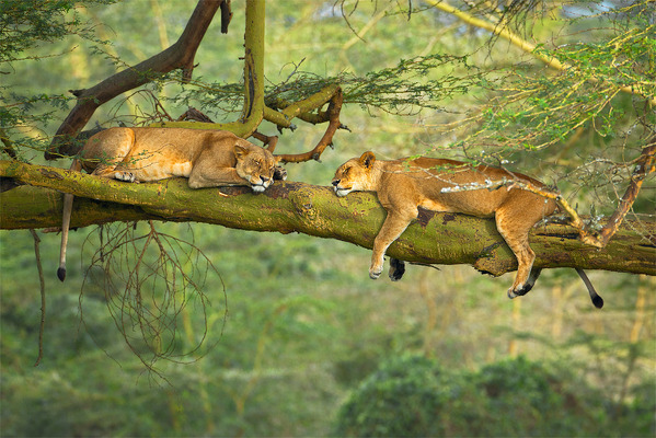 theanimalblog:  Big Cat Nap by Stephen Oachs