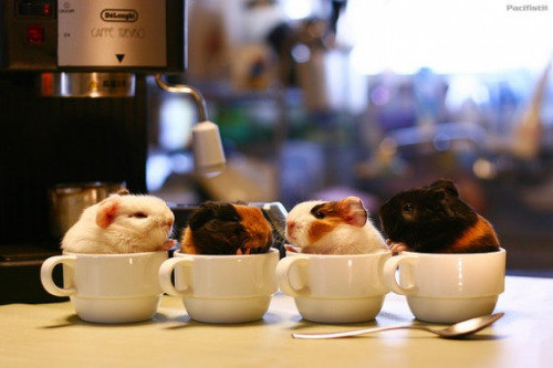 Guinea Pigs in tea cups.  Via cuteoverload.com