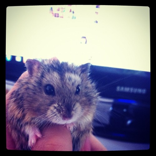 She is my only hammie that doesn't bite :D I love it so much 🐭 #hamster #buibui #cute  (Taken with Instagram)