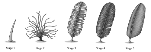 "howstuffworks:  prehistoric-birds:  Feather Evolution by *EWilloughby:  This is a sample of a diagram on feather evolution I made for the creation/evolution book I'm working on with ~Agahnim, ~keesey and others. The ""stages"" represented here are highly simplified from reality (the ""interlocking"" and ""non-interlocking"" barbule stages are basically combined into one, since it's not really possible to tell them apart in fossils) due to making it as easy to understand as possible to creationists.The caption, written by Agahnim:Five stages in the evolution of feathers, based on an analysis of feather evolution in a 1999 paper by Richard Prum. Each of these stages in feather evolution has been found on dinosaur fossils except for stage 3, which is known from cretaceous amber.Stage 1 - Simple fibers: Hollow unbranched fibers, with no barbs or barbules. Found on Sciurumimus albersdoerferi. Stage 2 - Bundles of fibers: Groups of unbranched fibers, each attaching to a central point. Found on Sinosauropteryx prima.Stage 3 - Unbranched barbs: Rows of unbranched barbs attached to a central shaft. Found preserved in amber alongside troodontid teeth.Stage 4 - Barbs and barbules: Rows of barbs attached to a central shaft, which branch further into barbules. Found on Protarchaeopteryx robusta.Stage 5 - Fully-developed flight feathers: Barbs and interlocking barbules; asymmetrical shape. Found on Microraptor gui.   Further reading: How Evolution Works."