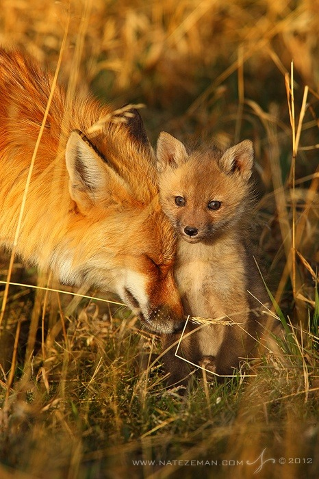 earthlynation:  red foxes by source