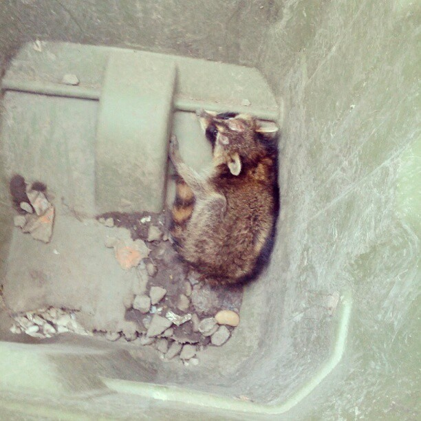 fourth-tribe:  I saved a raccoon today…  (Taken with Instagram)