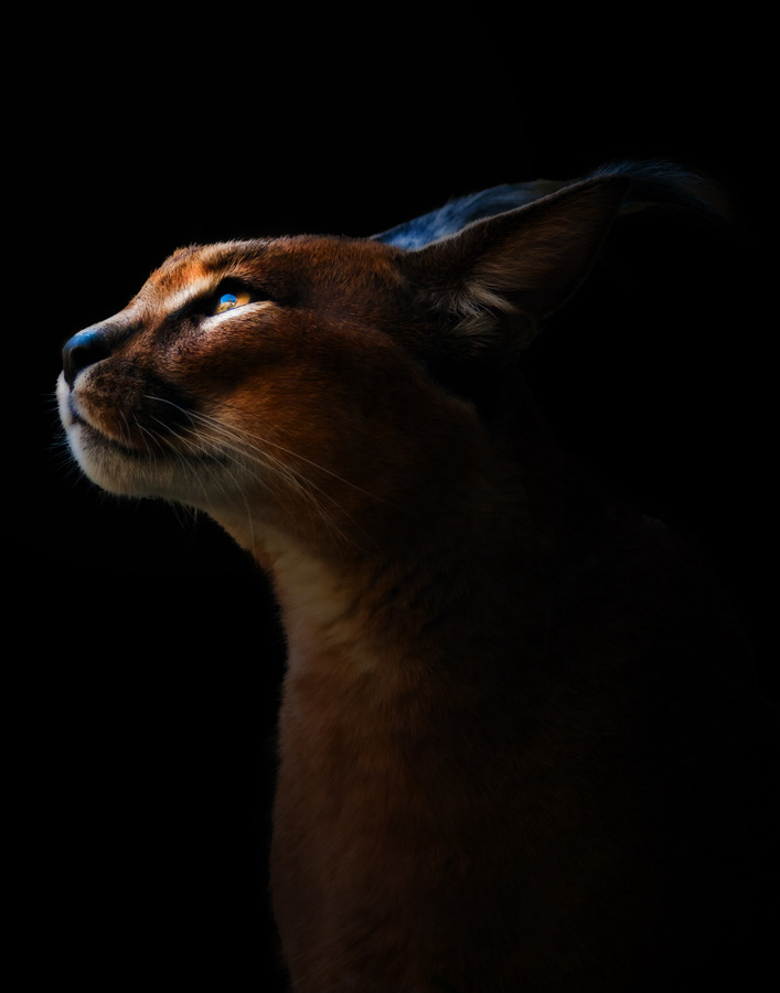 animals-animals-animals:  Caracal (by Annafur .)