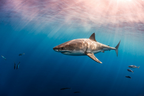 100leaguesunderthesea:  Great White Shark, Carcharodon carcharias by Todd Bretl on Flickr.