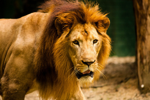 lions-and-company:  Lion by Niroj on Flickr.