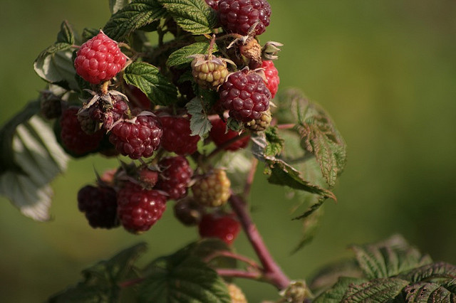 raspberries by Nick J Stone on Flickr.