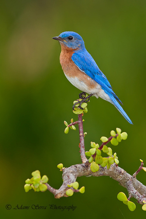 "earth-song:   ""Male Blue Bird"" by Adams Serra"