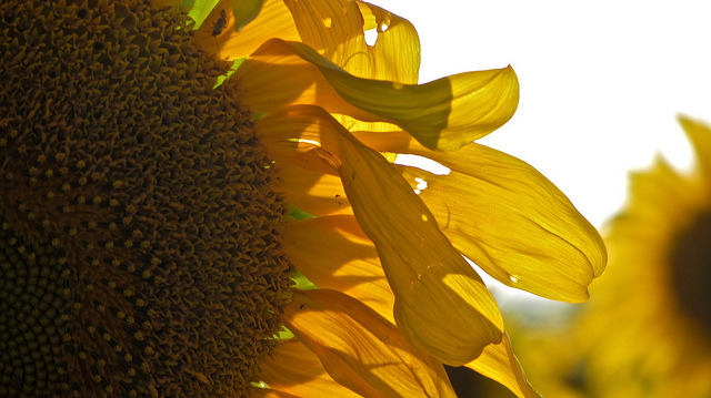 Sunflower by ellenm1 on Flickr.