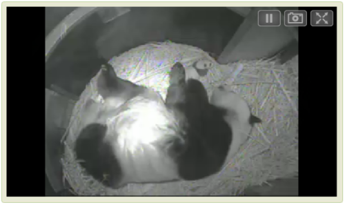 Well, there goes our morning. Check out the San Diego Zoo's live Panda Cam.
